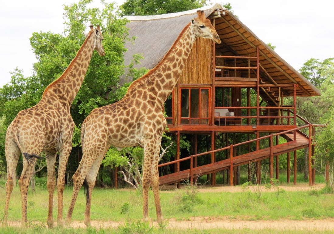 giraffes outside Pezulu Treehouse